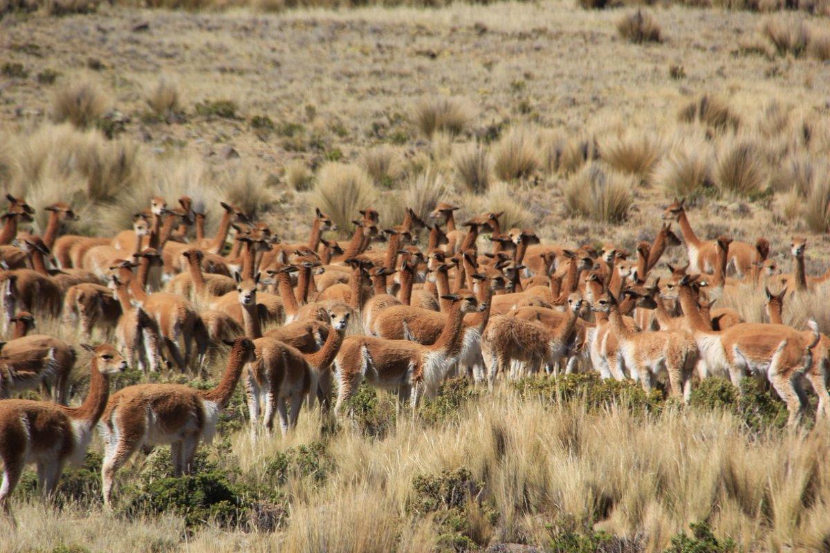 La vicuña podría aumentar los ingresos económicos y reducir la pobreza en comunidades - Caretas