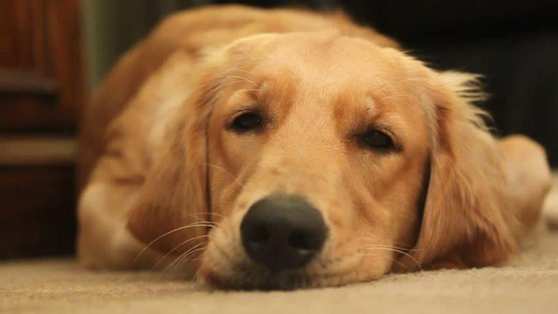 Nivel de estrés en el perro